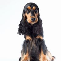 English Cocker Spaniel Armani